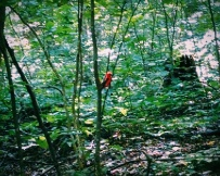 Horrible photo quality, but the only picture we've gotten of the many Scarlet Tanagers we've been lucky enough to see on the AT.
