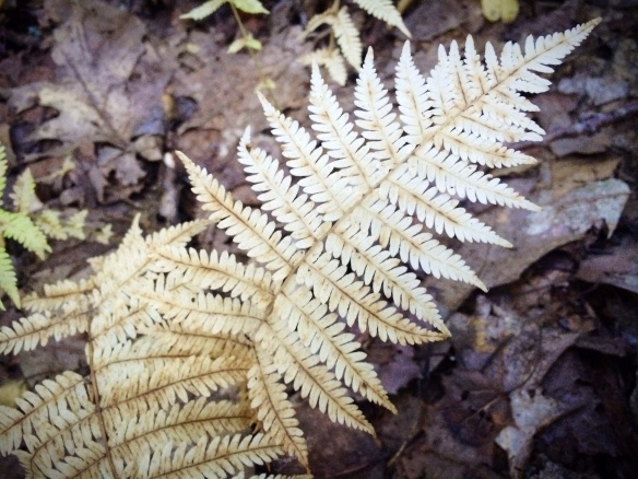 Fall is here! This is what happens to ferns in the fall. Beautiful.